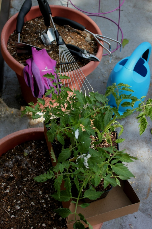 Planting tomatoes with oxo gardening tools (2)